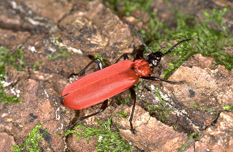 bright red cardinal beetle