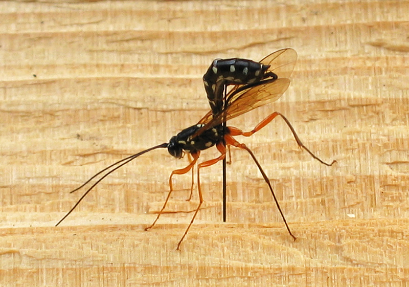 giant Icheumon wasp